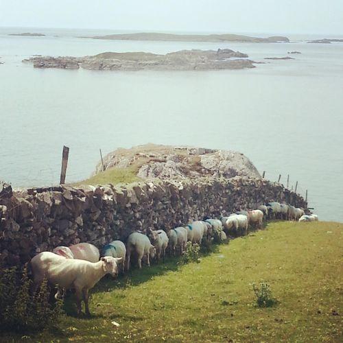 猛暑の羊01