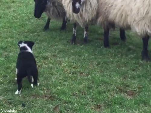 初めての牧羊犬01