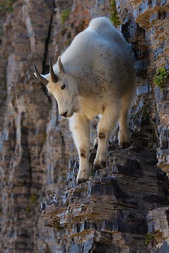 崖の上のヤギ05