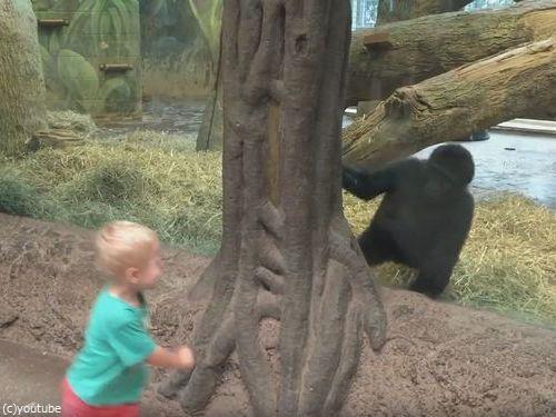 ガラス越しに人間の子供とゴリラの子供が遊ぶ05