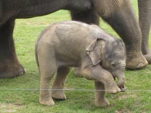 赤ちゃんゾウと鼻01