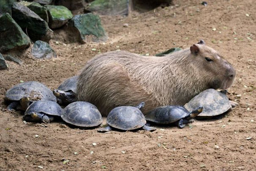 他の動物と仲良しのカピバラ07
