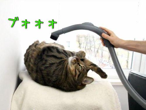 掃除機をエステのように楽しむ猫00