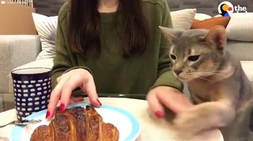 猫「クロワッサンください」01