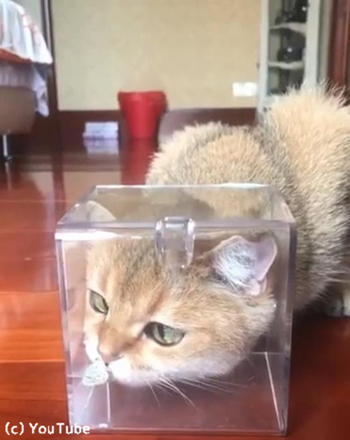 お鼻に蝶々がとまって困惑する猫02