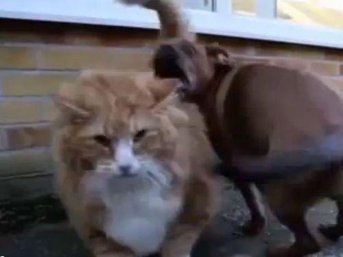 デブ猫のダイエットに子犬01