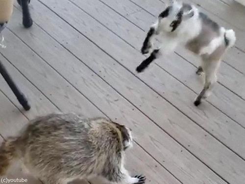 子ヤギとアライグマの頭突き対決00