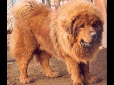 ライオンみたいなチベットの犬TOP