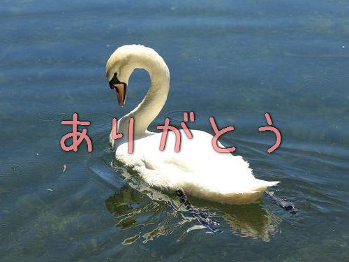 白鳥がお礼のハグ00