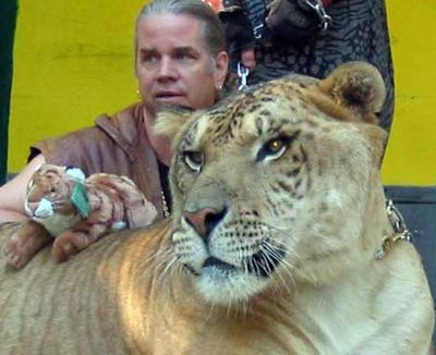 虎とライオンの交配種・ライガー08