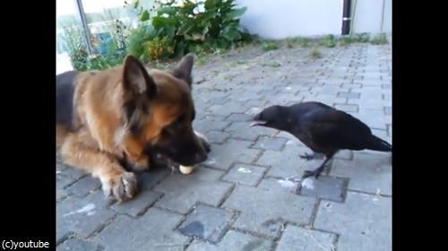 カラスとボールで遊ぶ犬03