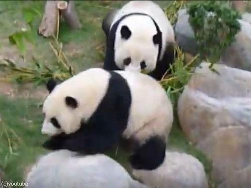 パンダの交尾を10年試みていた