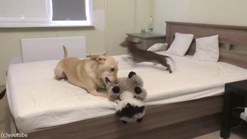 ベッドの上で遊ぶことを許可されて、大興奮するダックス03