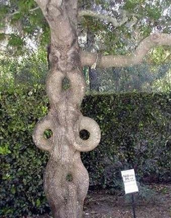世界の奇妙な木12