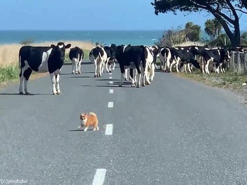チワワが脱走した牛たちを追う02