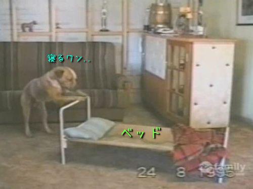 ベッドで寝ようとする犬00