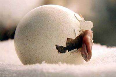 ペンギンのヒナが卵から出てくる一部始終01