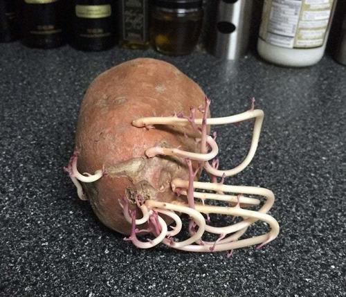 ジャガイモを放置して発芽してしまった例08