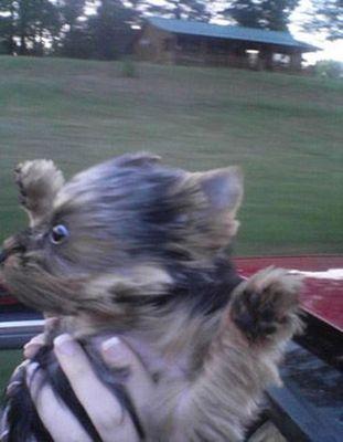 犬をオープンカーに乗せる01
