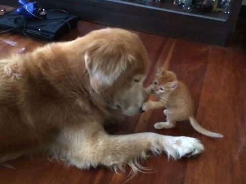 大きな犬と子猫00