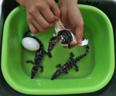 卵からひょっこり顔を出すワニと海ガメの赤ちゃん05