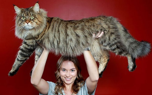 親戚の巨大な猫01