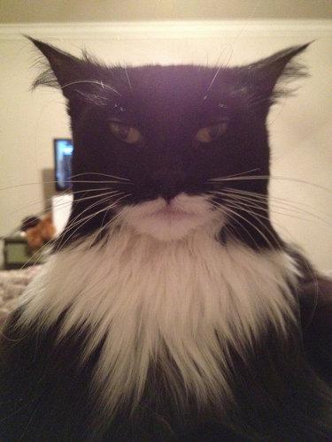 バットマンそっくりの猫01