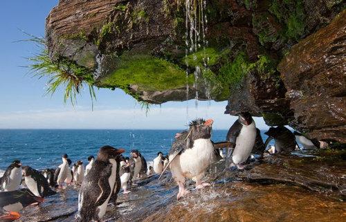 イワトビペンギン04