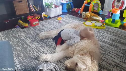 もふもふの犬をベッドにしようとする赤ちゃん04
