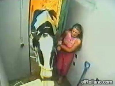 牛が入ってきた