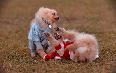 子犬の対決12