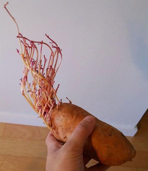 ジャガイモを放置して発芽してしまった例14