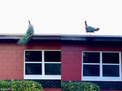 孔雀が屋根の上に飛ぶ02