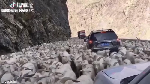 ヤギの鳴きまねに反応するヤギたち01