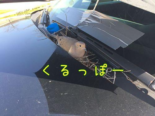 パトカーの上に鳩が巣作りを始めた00