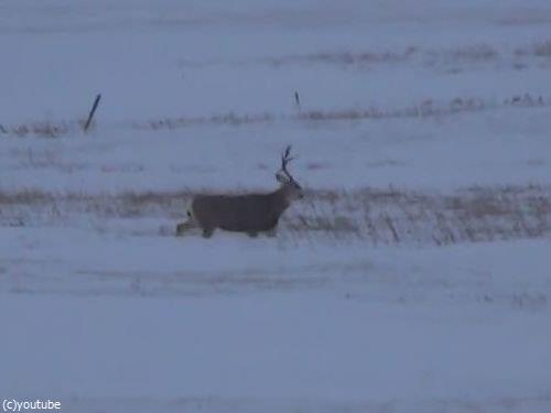 鹿のツノが抜け落ちる瞬間09