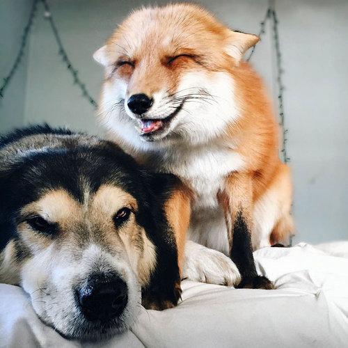 キツネと犬が仲良し06