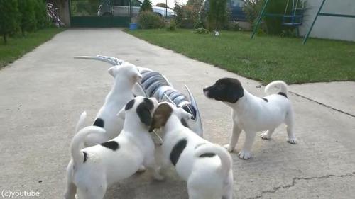 ロボ恐竜に戦いを挑む子犬たち03