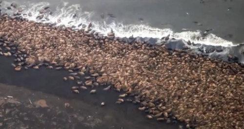 アラスカビーチに35000頭のセイウチ02