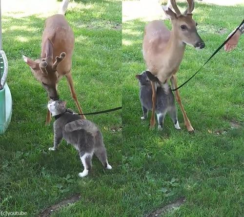 鹿と猫とのアツアツっぷり01