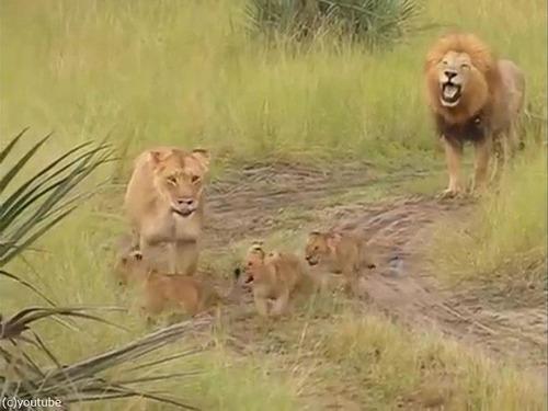 父ライオン「がおおぉ!」子ライオン「きゃおお!」00