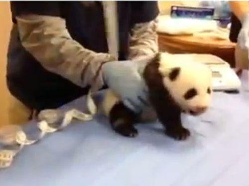 パンダの赤ちゃんの泣き声01