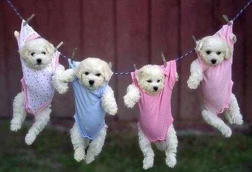 洗濯物として干された子犬たち07