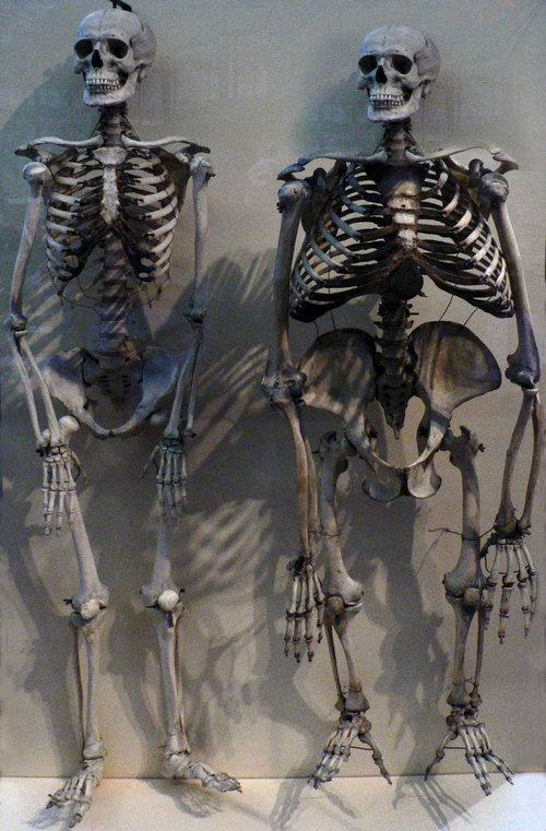 ヒトとゴリラの骨格を比べると02