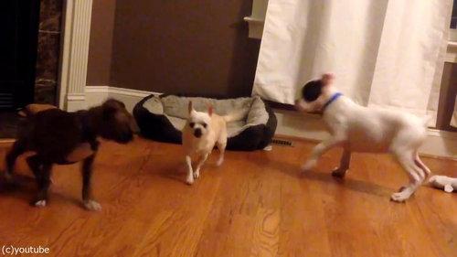犬2匹がベッドの追い出しに成功03