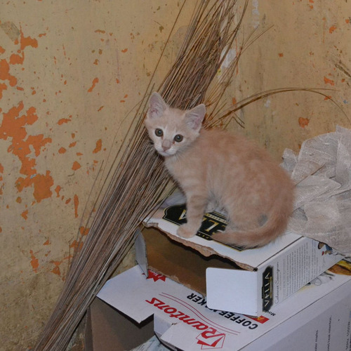 ケニアで子猫06