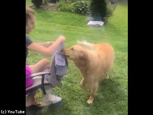 介助犬のトレーニングに励むワンコ00