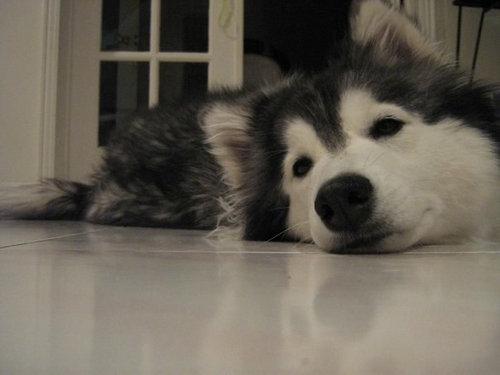猫みたいなハスキー犬08
