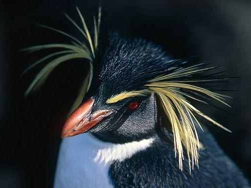 イワトビペンギン00