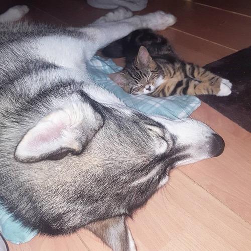 不安症の犬が子猫と出会った06